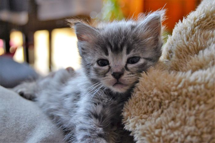 Animal Themes Close-up Cute Cat 😻 Day Domestic Animals Domestic Cat Feline Indoors  Kitty Cat Looking At Camera Mammal No People Pets Portrait Whisker Allways Be Cosy Feeling At Home Baby Cat Sleepy Puppy Sleep Time Pet Portraits
