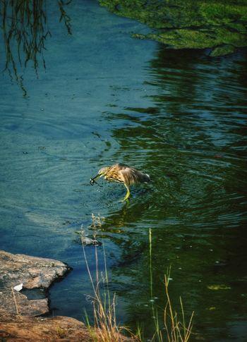 water heron eating frog Frog Pond Heron Ardeola Ralloides Ardeola, Water Heron Bird Water Swimming Lake Tree Swamp