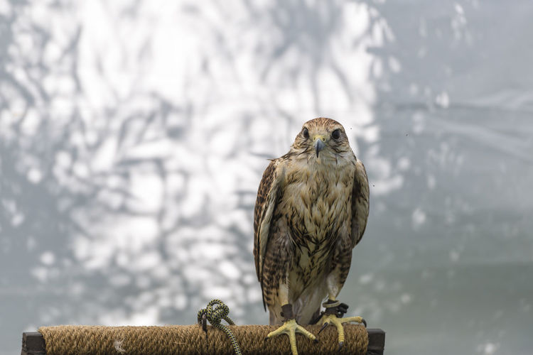 Animal Animal Themes Animal Wildlife Animals In The Wild Bird Bird Of Prey Cold Temperature Day Eagle Falcon - Bird Focus On Foreground Nature No People One Animal Outdoors Owl Perching Portrait Vertebrate Wood - Material Wooden Post