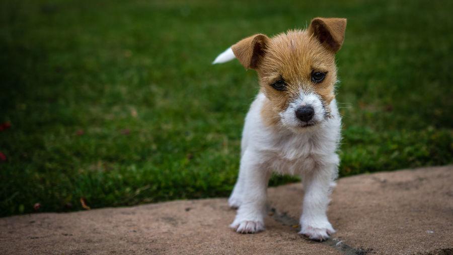 Portrait of puppy standing on field
