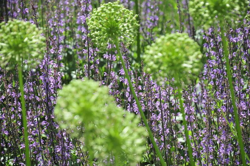 Beauty In Nature Botany Close-up Day Field Flower Flower Head Flowering Plant Fragility Freshness Green Color Growth Herb Land Lavender Lavender Colored Nature No People Outdoors Plant Purple Selective Focus Vulnerability