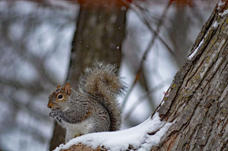 Squirrel eating in snow Jodie Sims Photography Photographer Photographerinoz Wildlife Wild Grey Gray Eating In Tree Nature Tree Snow Perching Winter Cold Temperature Bird Branch Tree Trunk Leopard Squirrel Rodent Tail Animal Eye