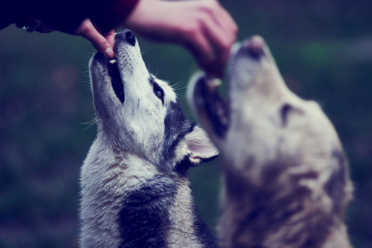 Close-up of hands feeding dogs
