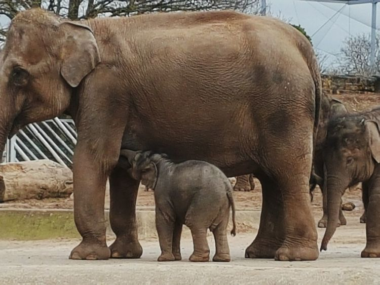 Elephant Elephant Calf Elephant Calves Animal Young Animal Animal Family Animals In The Wild Togetherness No People Animal Wildlife Nature Animal Themes Mammal Chester Zoo Elephant Trunk Elelphants Beauty In Nature Wrinkles Animal Families Adult And Baby Animal Standing Indian Elephant Chester Zoo