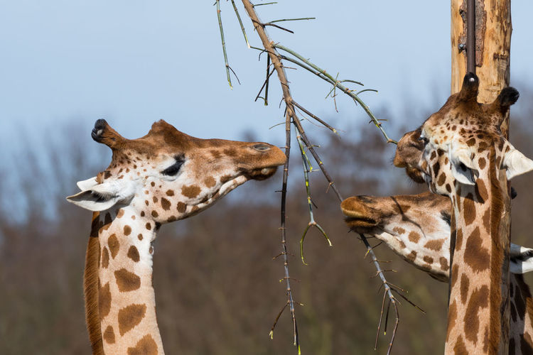 Animal Park Animal Themes Berlin Berlin Photography Close-up Day Giraffes Mammal Nature No People Outdoors Tierpark