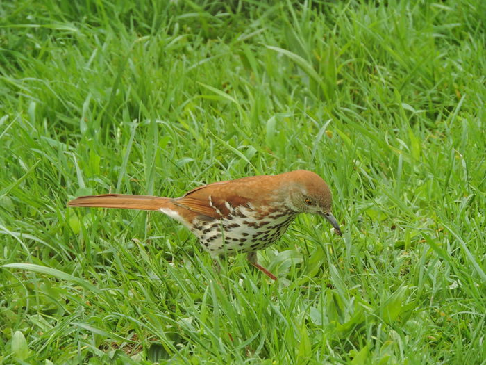 Brown Thrasher One Animal Animal Wildlife Animals In The Wild Animal Animal Themes Bird Plant Vertebrate Grass Green Color No People Land Nature Growth Field Day Close-up Beauty In Nature Perching Outdoors