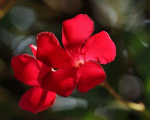 Red in Backlight Backlight Red Flower Macro Fiore Rosso Red Red Flowers 🌺 Flower Head Flower Poppy Red Closing Pink Color Petal Rose - Flower Close-up Plant Botany Pollen Pistil