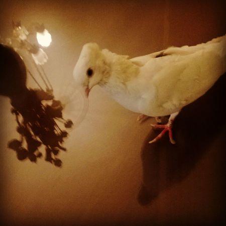 Mybird Pegion Angel Love