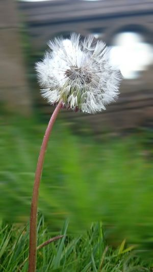 Close-up of dandelion in field