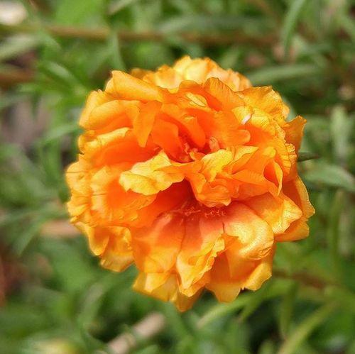 Orange Moss Rose Mossrose Flora Flower