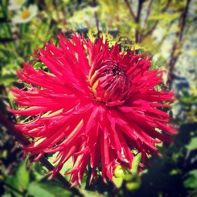 Red Flower Garden Dalia