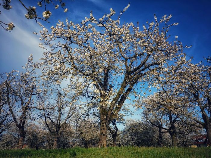 Low angle view of cherry blossoms on field against sky