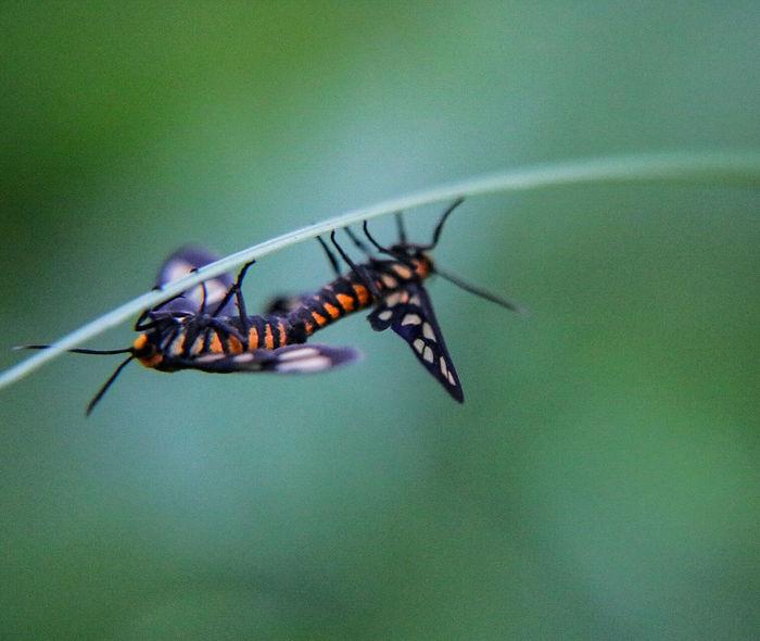 Life cycle. Singapore City Singapore Life Pasir Ris Park PasirRisPark Nature_collection Nature Nature Photography Macro Macro_collection Macro Photography Moth Mating Mating Season Mating Pair Of Butterfly Bonding Macroclique Photography Tiger Moth