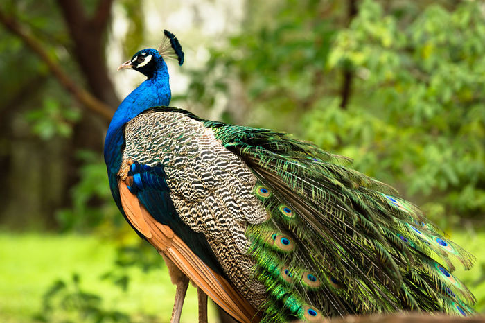 Male peacock preening Animal Themes Beauty In Nature Bird Blue Close-up Feather  Focus On Foreground Green Color Nature One Animal Outdoors Peacock Perching Side View Wildlife