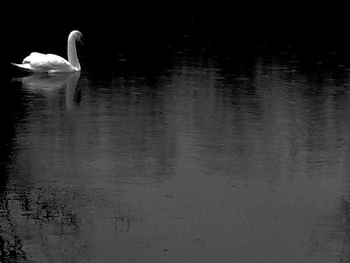 Things I Like Photography In Motion Still Life Black & White Blackandwhite Photography Black And White Blackandwhite EyeEm Nature Lover Welcomeweekly EyeEm Best Shots Hello World Untold Stories Outdoors Nature Landscape_Collection Landscape Natural Beauty Nature_collection Nature Photography Swan Birds Bird Photography Bird Water Reflections Black And White Friday Animals In The Wild Animal Themes Animal Wildlife Animal Vertebrate