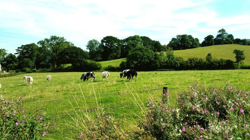 Cotswolds Grazing Landscape Livestock Domestic Cattle