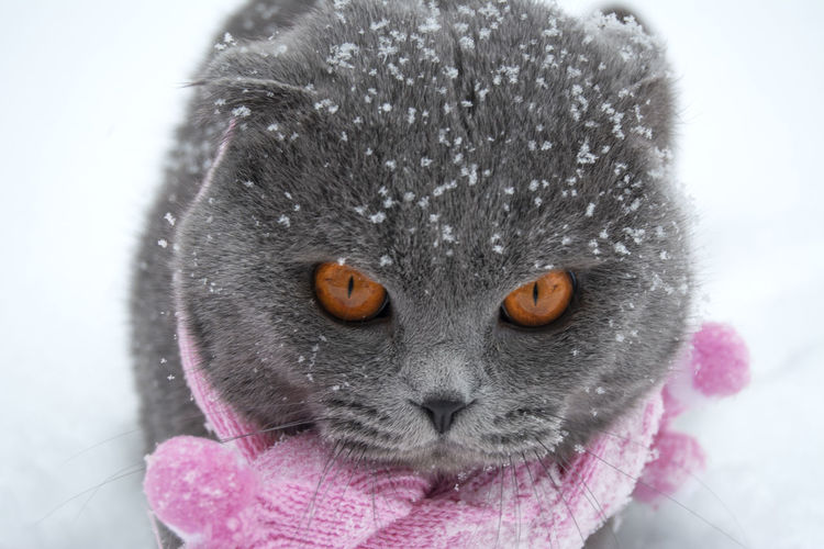Animal Themes One Animal Animal Domestic Mammal Pets Domestic Animals Snow Cold Temperature Domestic Cat Close-up Cat Winter Animal Eye Whisker Snowing Feline Warm Clothing Looking At Camera Pink Color Animal Head  Animal Body Part Portrait No People Snowflakes