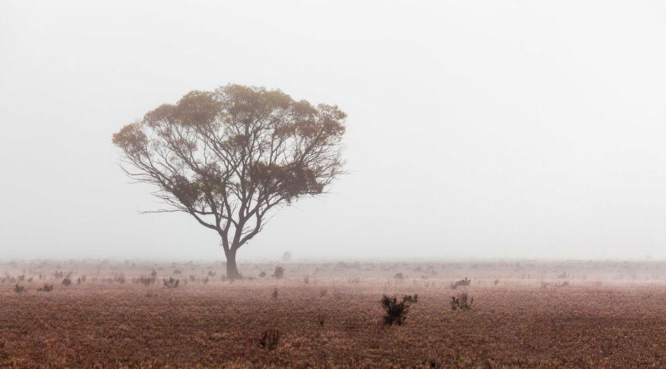 Beautiful eucalyptus tree protruding through morning fog in Australian desert Australia Australian Landscape Desert Field Lone Tree Nature Outback South Australia Travel Animal Animal Themes Animal Wildlife Animals In The Wild Arid Climate Beauty In Nature Climate Destinations Environment Field Fog Foggy Foggy Morning Land Landscape Mammal Mist Nature No People Non-urban Scene Outdoors Plant Scenics Scenics - Nature Sky Tranquil Scene Tree
