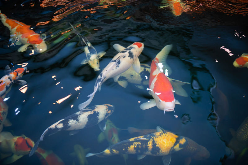 Many koi fish swim in the pond.soft focus. Water Group Of Animals Swimming Animal Wildlife Animals In The Wild Animal Themes Vertebrate Animal Fish Large Group Of Animals Carp Koi Carp High Angle View Underwater Sea Pond Nature Sea Life Marine No People School Of Fish Outdoors Water Lily Swimming Animal Soft Coral Saltwater Fish Fishing Industry Farm Animal Whale Shark Adult Animal