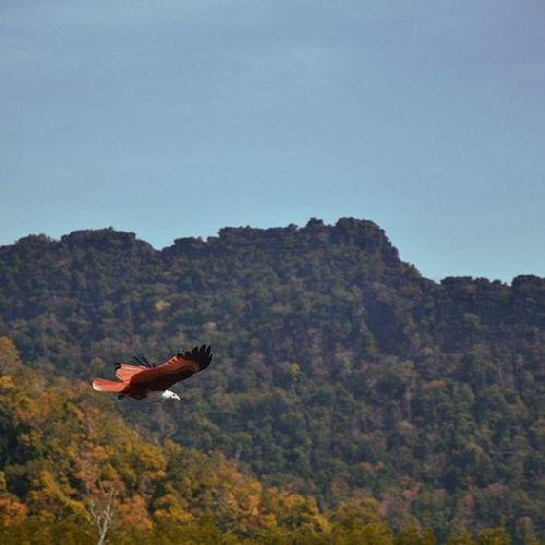 تصويري  ماليزيا Malaysia Eagle نسر
