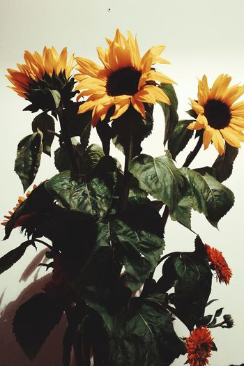 Flowers Sunflowers Favorites Things I Like Photography