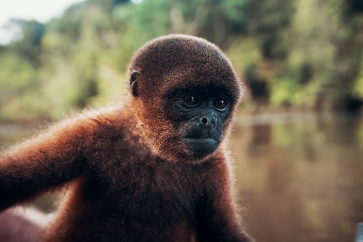 When we went fishing we discovered this curious Woolly Monkey in the trees. Nature Outdoors Non-urban Scene Adventure South America Latin America Jungle Rainforest Amazon Amazonas Focus On Foreground One Animal Animal Wildlife Animals In The Wild Primate Mammal Vertebrate No People Portrait Close-up Day Ape Looking Animal Body Part Animal Eye