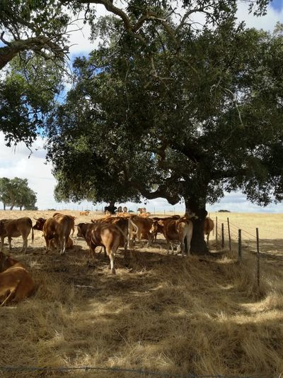 Animal Themes Cattle Countryside Cow Day Domestic Animals Domestic Cattle Farm Field Herbivorous Herd Horse Livestock Mammal Medium Group Of Animals Nature No People Outdoors Pasture Rural Scene Tree Zoology