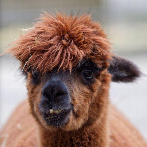 Close Up Of Lama