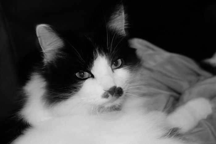 EyeEm Selects Pets Animal Themes Domestic Animals One Animal Mammal Domestic Cat Looking At Camera Home Interior Indoors  Feline Portrait Close-up No People Black And White