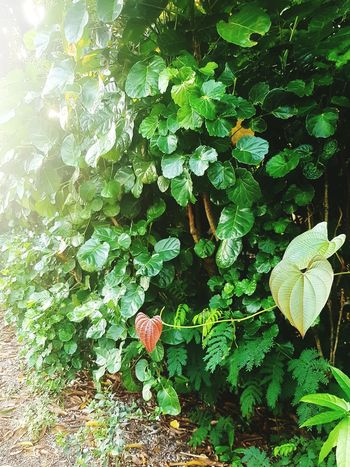 Leaves Green Green Leaves Red Leaf Heart Shape Heart Leaves Nature Plant Outdoors No People Green Color Bushes Bush Morning Ground Dirt Road