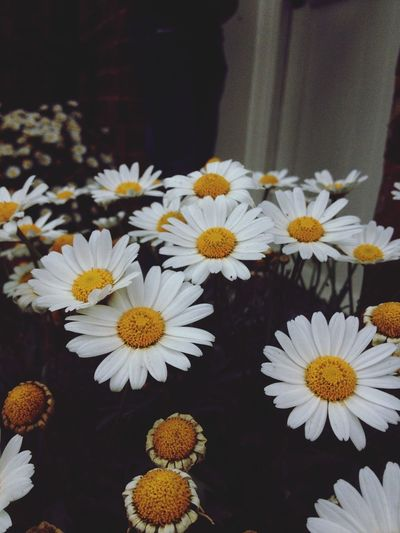 Daisy's are beautiful i love taking pictures of them xxxx Flower