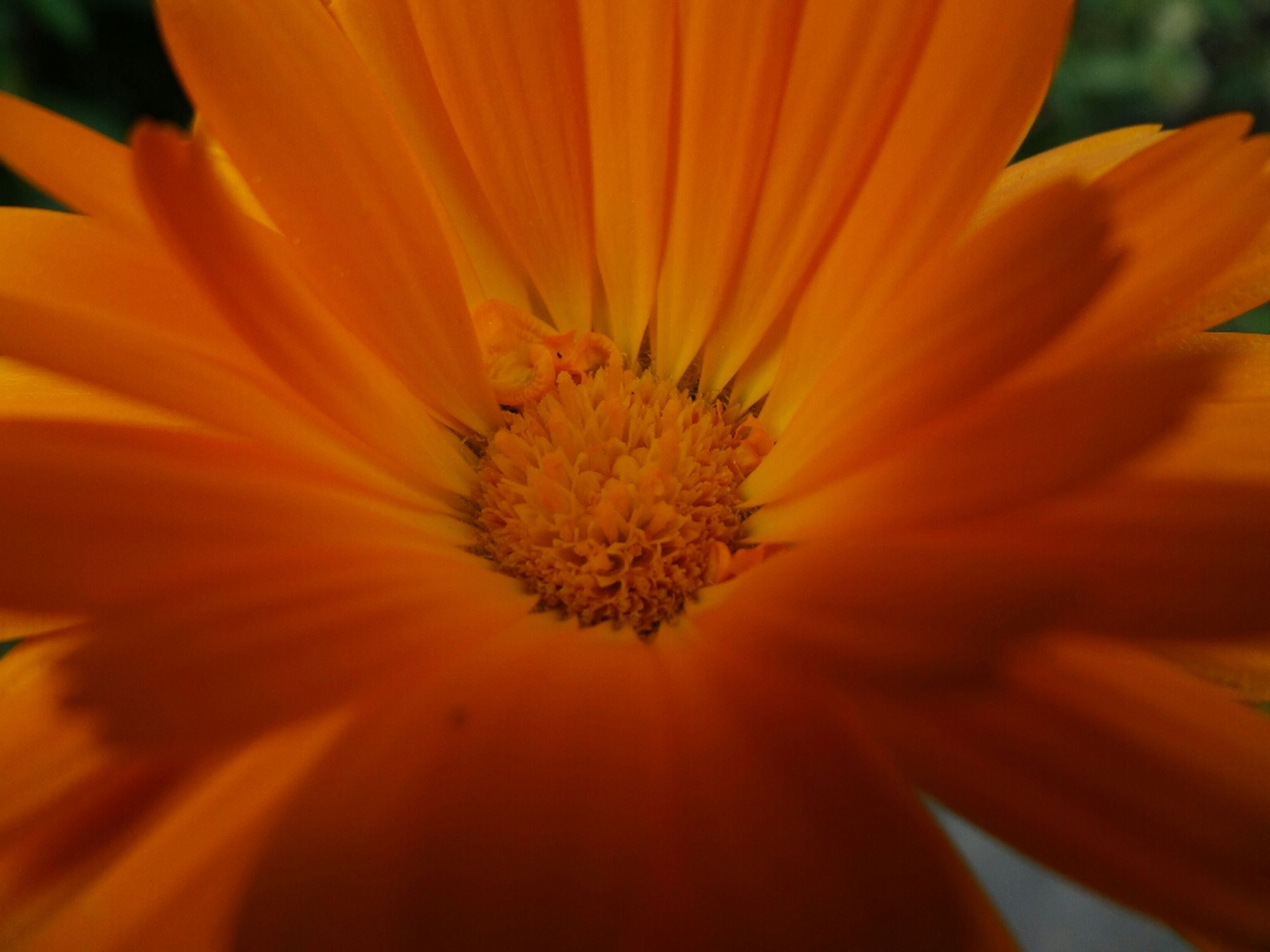 flower, petal, flower head, freshness, fragility, pollen, beauty in nature, close-up, growth, single flower, yellow, nature, orange color, blooming, stamen, focus on foreground, in bloom, macro, plant, selective focus