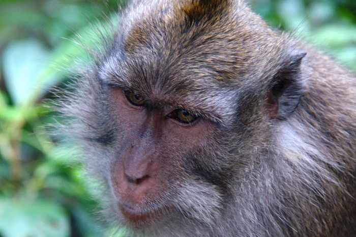 A Male Macaque side headshot Animal Hair Animal Photography Apple Asian  Close-up Colour Image Face Focus On Foreground Forest Horizontal Looking Away From Camera Macaca Fascicularis Macaque Monkey Male Mammal Monkey Nobody Omnivore One Animal Portrait Primate Simian Tailed Wildlife Zoology