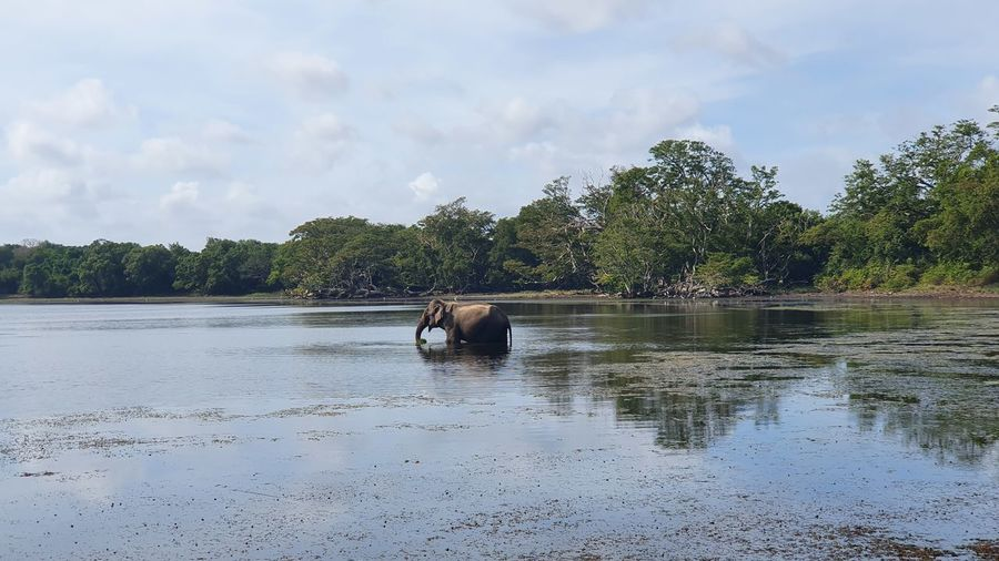 Water Moose