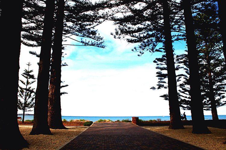 Pine trees lead to ocean Pine Trees Ocean Blue Sky Clouds Pathway Leading