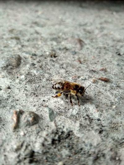 Fly Bzzz Bee Bumblbee Macro OSA Stone Insect Close-up