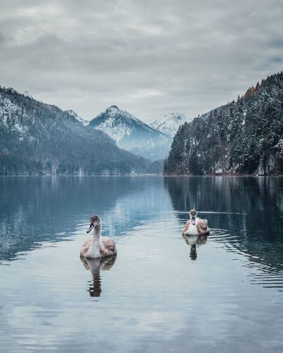 Couple of swans on the Alpsee lake near Schwangau with views of the Alps in the winter Water Lake Mountain Beauty In Nature Group Of Animals Scenics - Nature Waterfront Animals In The Wild Animal Themes Animal Wildlife Animal Sky Bird Nature Vertebrate Mountain Range Non-urban Scene Outdoors Snowcapped Mountain Swan Swans Swans On The Lake Birds Birds Of EyeEm  My Best Photo #NotYourCliche Love Letter