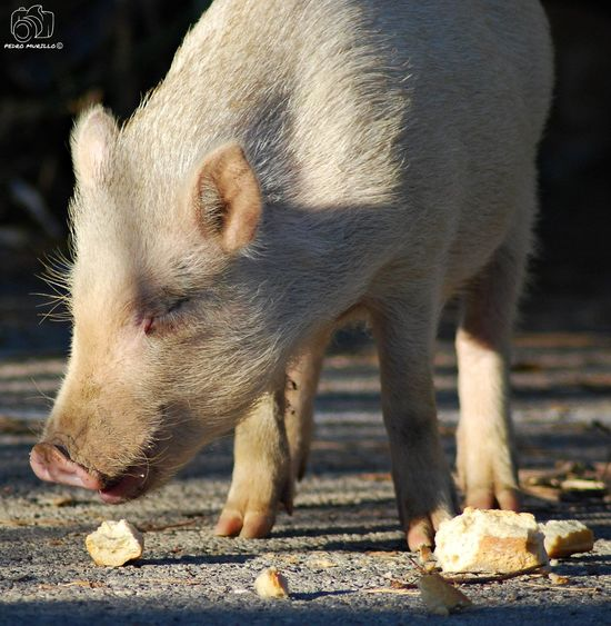 Minipig Minipigs Pig Cerdo Cerdos Pig Albino Albine Albinism Porc Albi Animal Wildlife Mammal Animals In The Wild Animal Photography Photooftheday Outdoor Photography Naturelovers Natgeo Safari Forest Adventure Hiking Nature_collection Landscape_collection EyeEmNatureLover Martorell Nikon D60 Catalunya Animal Photography NikonphotograhyNikonphotography Naturephotography Naturaleza🌾🌿 Naturaleza🌵🌻🎶 Nikonphotographers