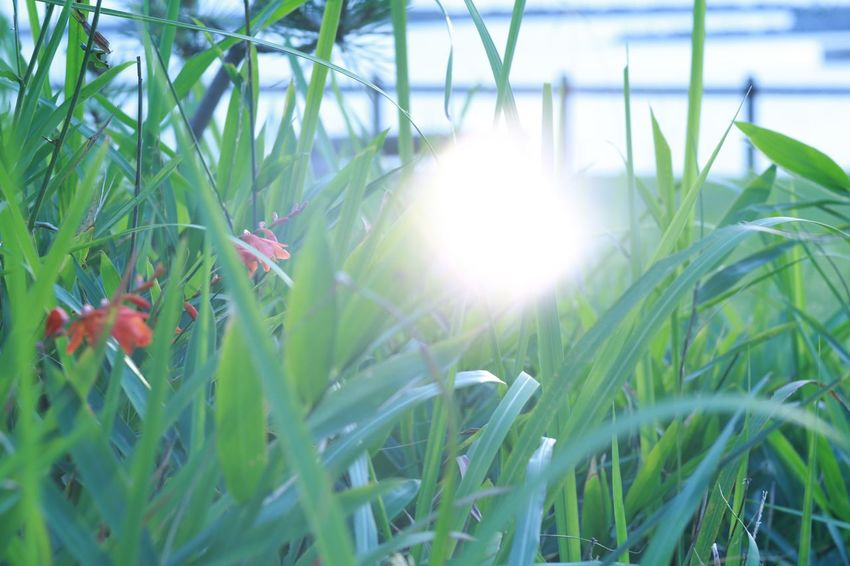 Pleasant memory. EyeEm Nature Lover Flowers Montbretia Ishikawa-ken Japan Canon5Dmk3 Meyer-Optik-Görlitz Trioplan100