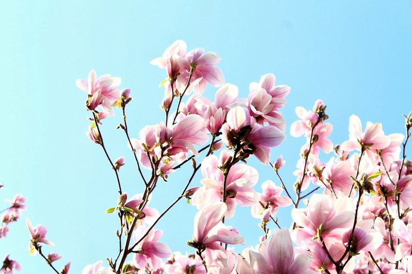 Flowers Flower Pink Color Blossom Springtime Nature Fragility Beauty In Nature Botany No People Tree Growth Sky Flower Head Plant Branch Outdoors Petal Freshness Day Clear Sky Streetphotograph Color Harbor Streetphotography Outdoor Photography