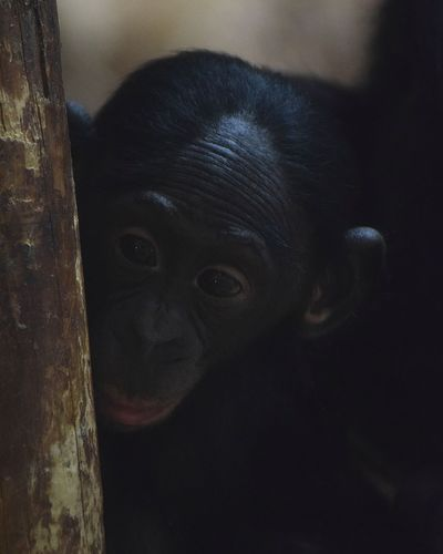 baby bonobo Bonobos Bonobo Gobonobos Baby Bonobo No People Indoors  Close-up Day Animal Themes Mammal Nature