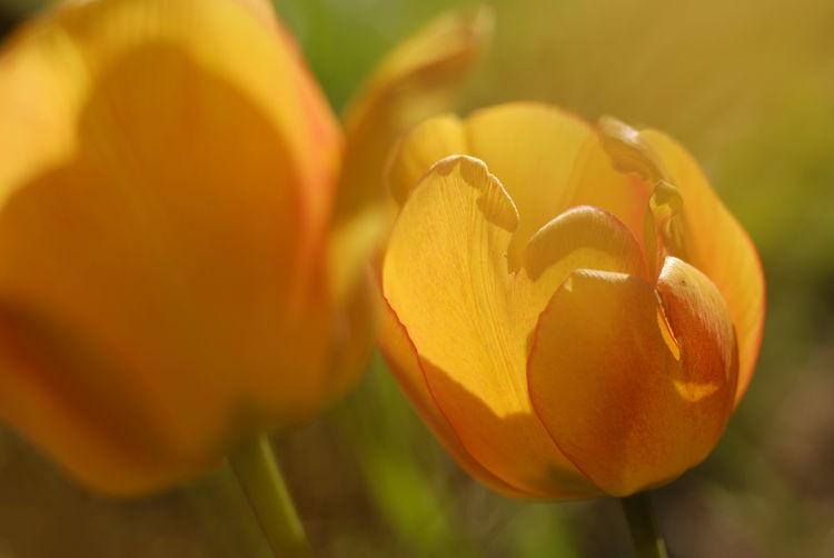 Close-up of yellow tulip