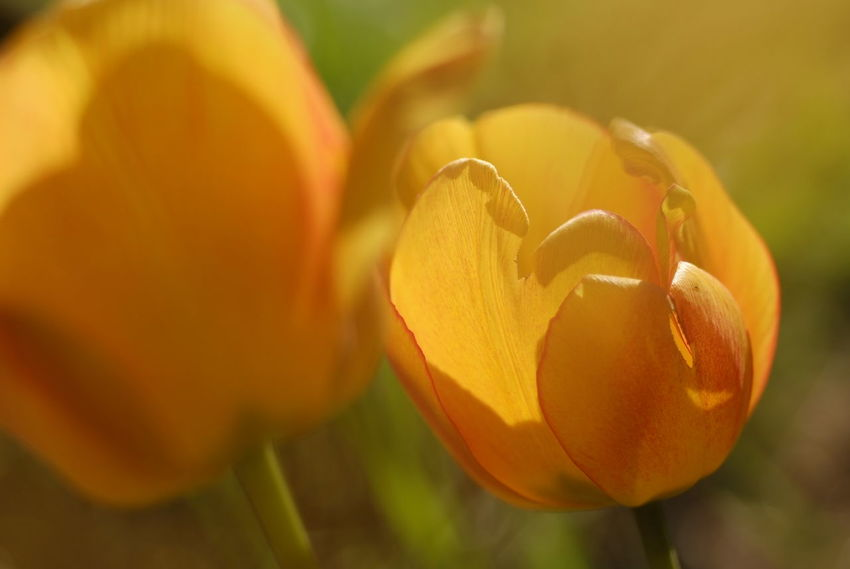 Backlit Tulip Petals. Photograph © 2018 Kay-Christian Heine Red Sunny Tulips Backlighting Photography Beauty In Nature Close-up Flower Flower Head Flowering Plant Focus On Foreground Fragility Freshness Growth Inflorescence Nature No People Orange Color Petal Plant Red Color Selective Focus Translucent Tulip Vulnerability  Yellow