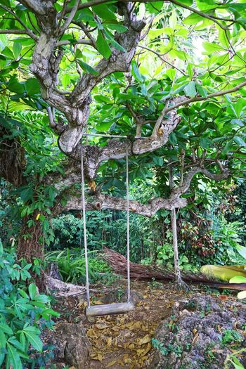 2015  Beauty In Nature Day Forest Green Color Growth Jamaica Leaf Montego Bay Nature Outdoors Plant Play Equipment Swing Tree ジャマイカ ブランコ モンテゴベイ
