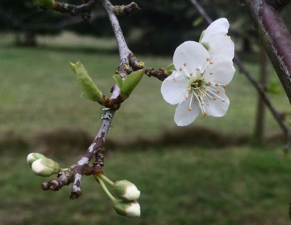 Spring Is Here 🌞 Macro Beauty Iphonephotography IPhone 6+ IPS2016Nature Plum Early Flower And Buds IPS2016White Easter Ready Mission