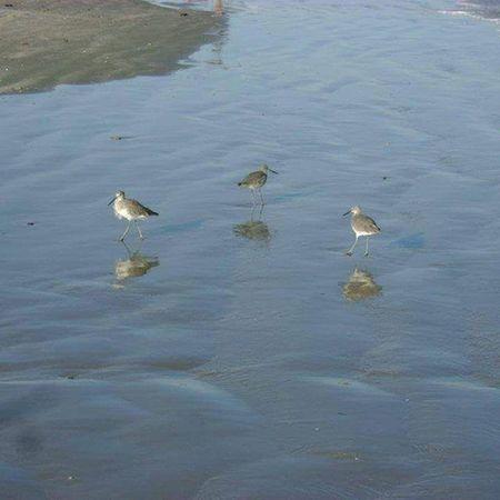 Corpus Christi, Tx Sand Plover