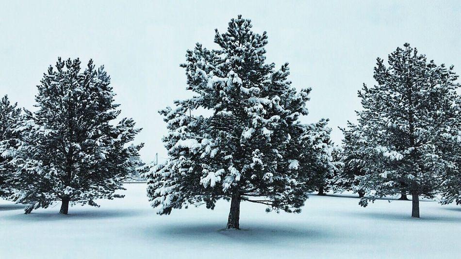 Snowy trees are the prettiest. Snowy Tree Winter Nature Snow Tree Beauty In Nature Outdoors Winter Wonderland EyeEm Nature Lover EyeEm Best Shots