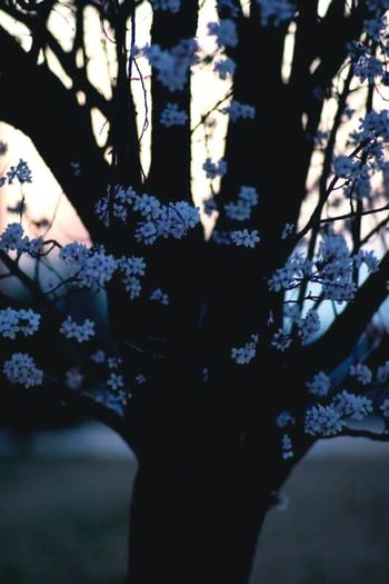 Tree Flower Cherry Blossoms Sunset Spring Film Photography Nostalgia Nostalgic