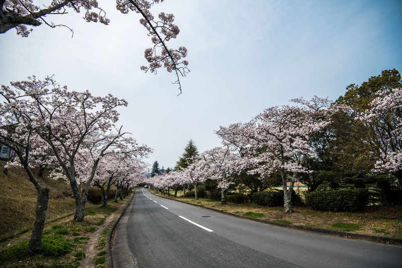 View of flowering cherry trees by road against sky