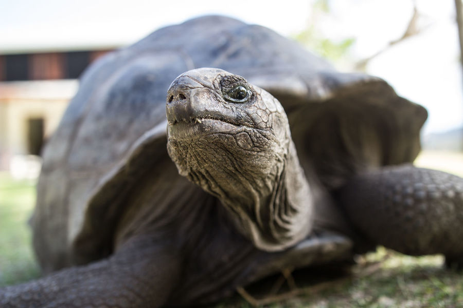 Seychelles Animal Themes Animal Wildlife Animals In The Wild Close-up Focus On Foreground Giant Tortoise Nature One Animal Portrait Reptile Tortoise Tortoise Shell